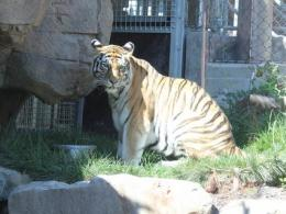 Tiger posing at the Cleveland Metroparks Zoo