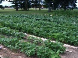 Bellevue Hospital Community Garden row crops